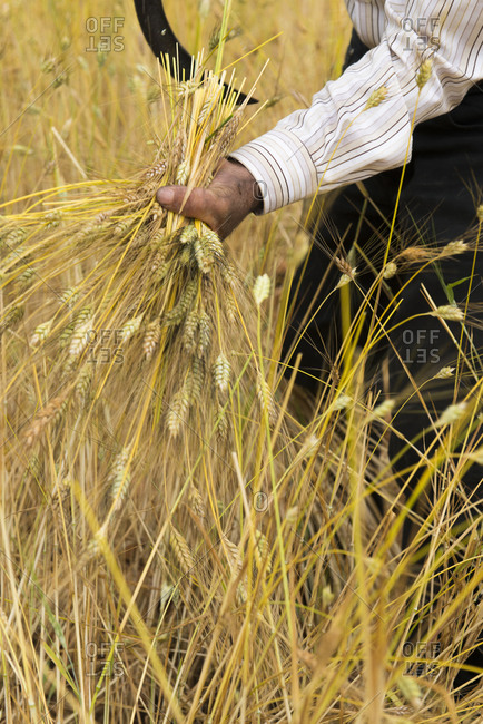 A man harvests wheat grains with a sickle