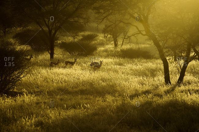 Springbok in he Kalahari, Namibia, Africa