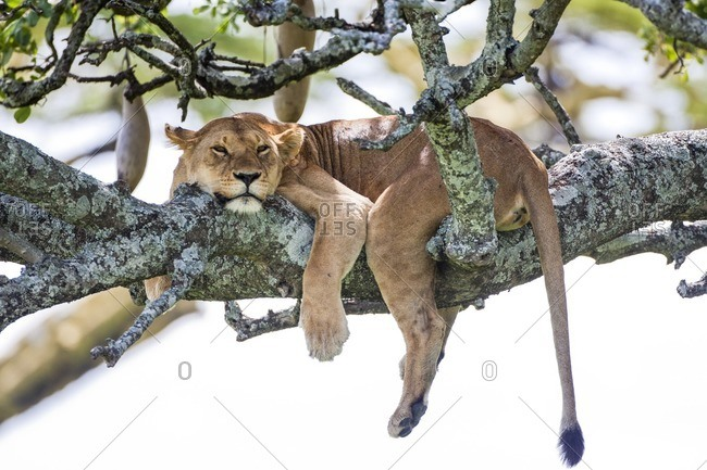 Lioness resting on a tree branch
