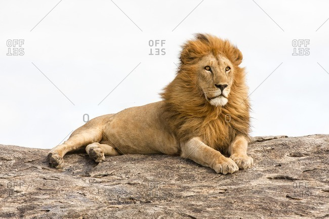 Lion lying on a rock