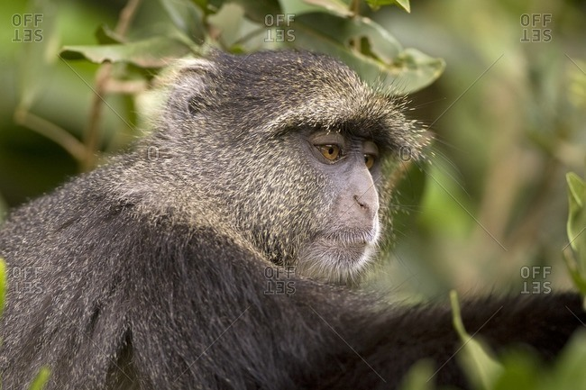 Close up of a blue monkey in its habitat