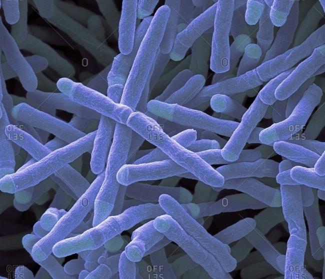 Close up of Mycobacterium smegmatis bacteria
