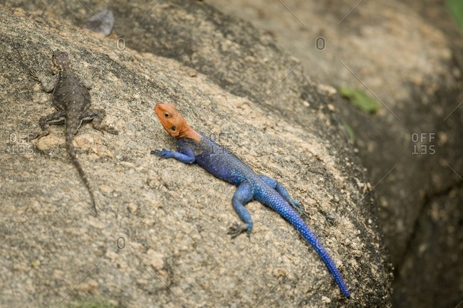 Lizards on a rock in Tanzania