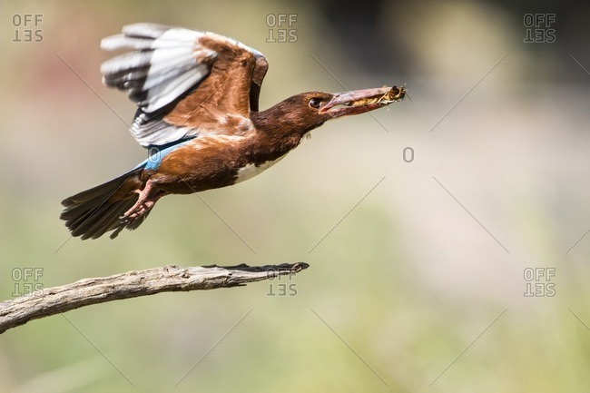 White-throated kingfisher taking off with an insect in its beak