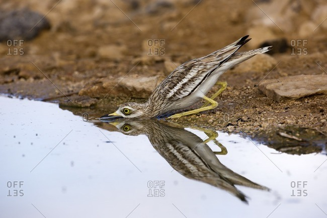 Eurasian stone curlew drinking from puddle