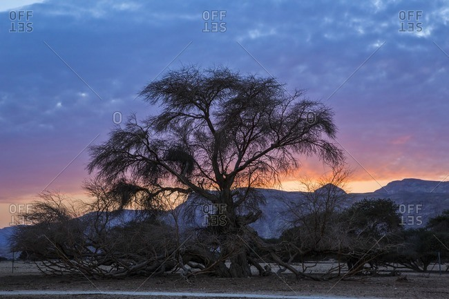 Silhouette of an Acacia tree at sunset in the Negev desert, Israel