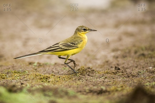 Yellow wagtail in Israel