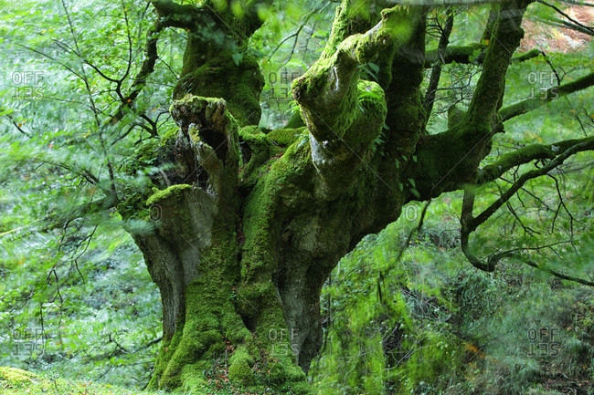 Gnarled moss covered beech trees