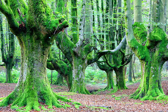 Moss covered beech trees forest