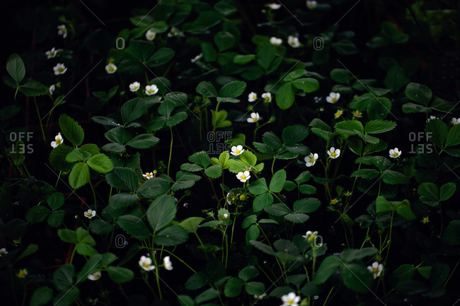 Blossoming strawberry plants