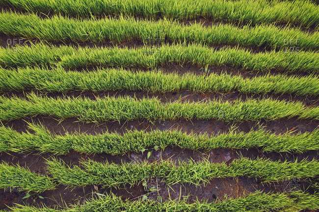 Overhead view of green rice seedlings in rice field