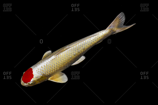 Gold koi with red spot in a pond