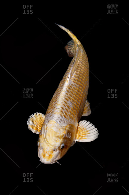 Gold koi fish in a pond