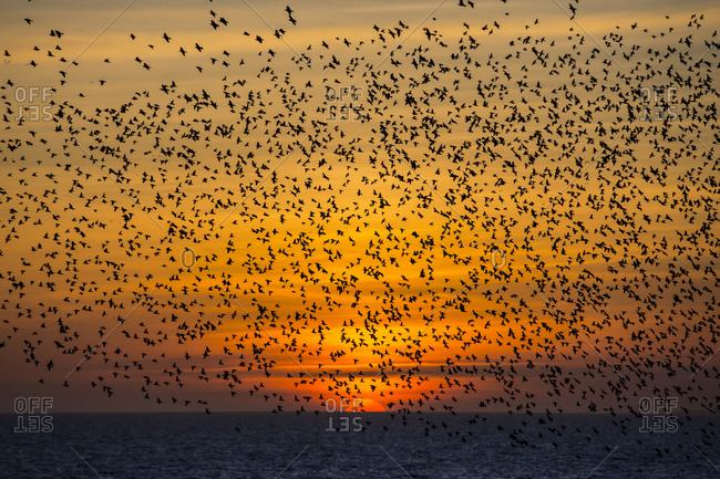 Starlings at sunset, Beach Head, Brighton