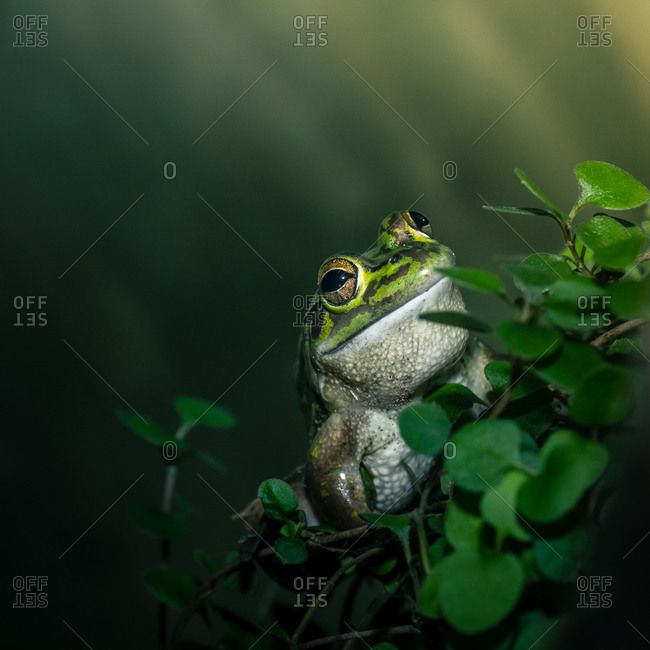 A green bell frog in New Zealand