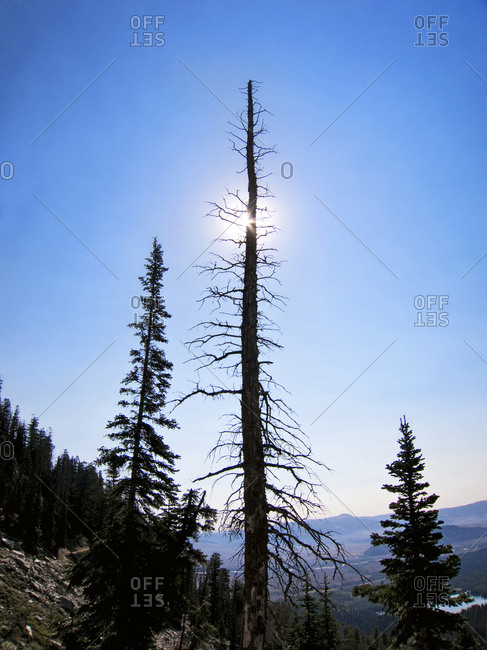 A dead tree blots out the sun, Garnet Canyon, WY