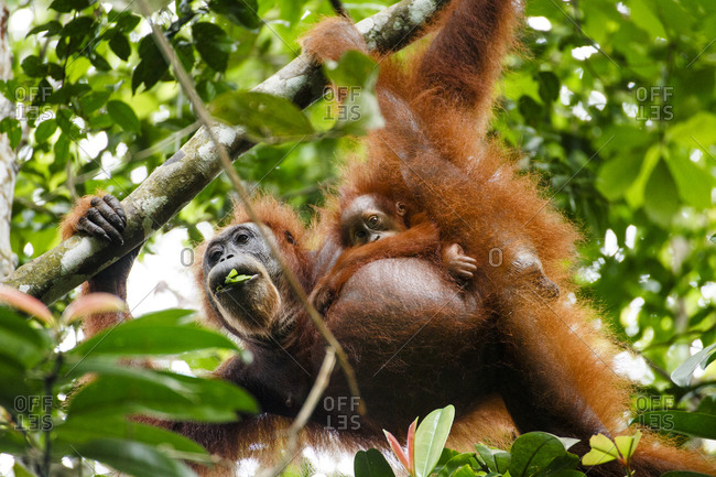 A Sumatran orangutan (Pongo abelii) mother and child