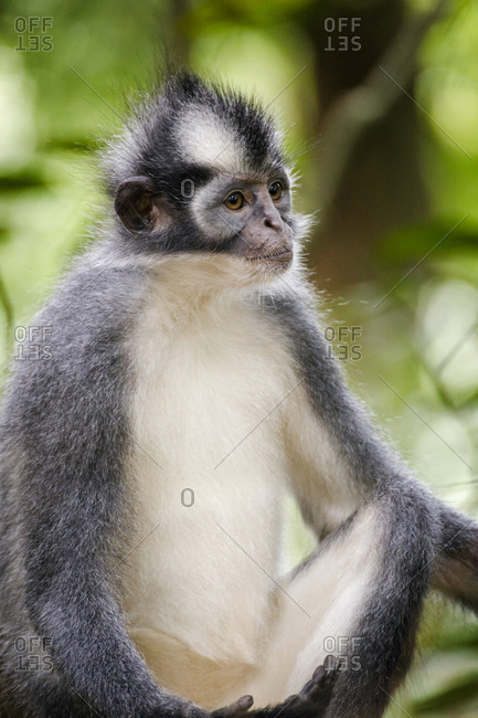 A Thomas Leaf Monkey (Presbytis thomasi) in Gunung Leuser National Park
