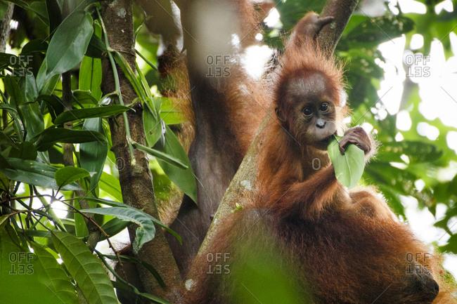 A Sumatran orangutan (Pongo abelii) mother and child