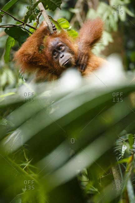 A child Sumatran orangutan (Pongo abelii) rests on a tree branch in Gunung Leuser National Park in Northern Sumatra