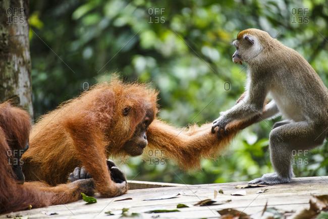 A child Sumatran orangutan (Pongo abelii) fights with a macaque in Gunung Leuser National Park in Northern Sumatra