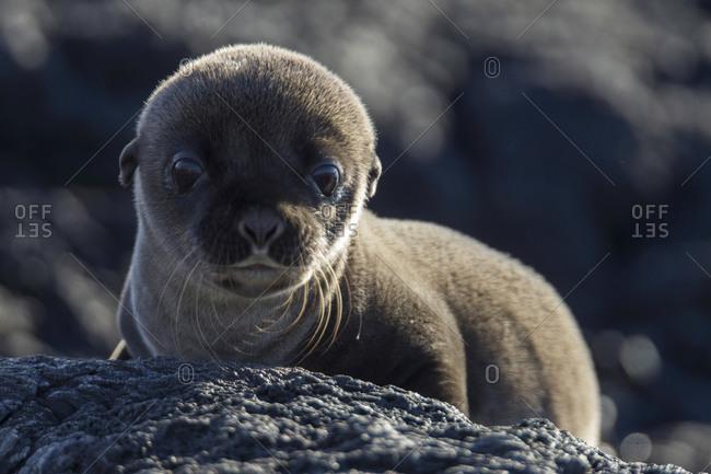 Baby Galapagos Sea Lion, Santiago Island, Galapagos Islands, Ecuador