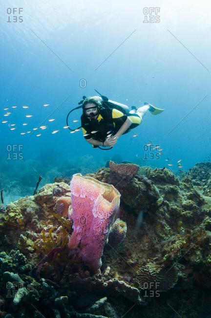 A Diver Explores A Purple Vase Sponge St Lucia Stock Photo Offset