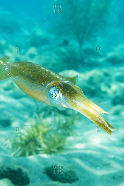 Caribbean reef squid or Atlantic oval squid, (Sepioteuthis sepioidea), St Lucia