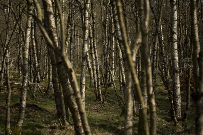 Carpathian birches Rhoen Mountains, Germany