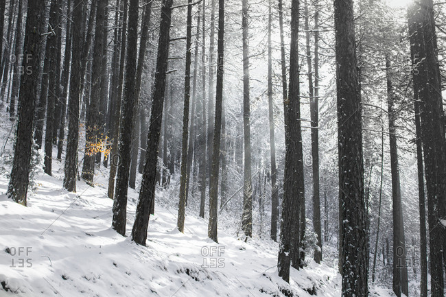 Winter scene with a black pine forest, Southwestern Serbia