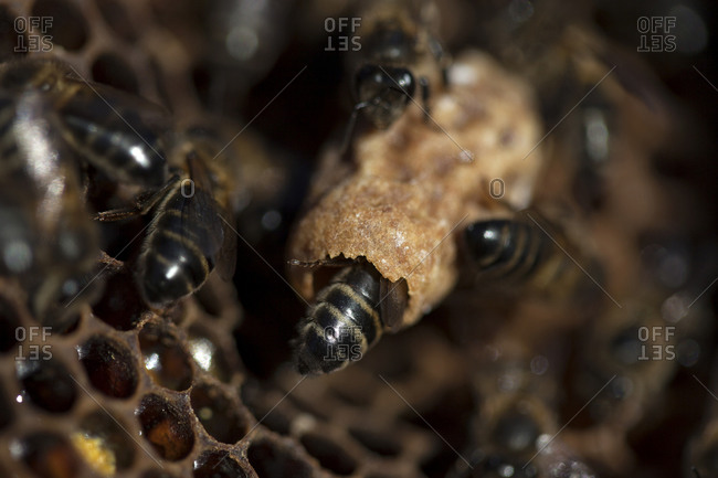 Nurse bees take care of a queen bee egg in a queen cup on a beehive of the apiary of Puremiel beekeepers in Arcos de la Frontera, Cadiz province, Andalusia, Spain