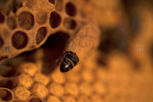 A nurse bee takes care of a queen bee egg in a queen cup on a beehive of the apiary of Puremiel beekeepers in Arcos de la Frontera, Cadiz province, Andalusia, Spain