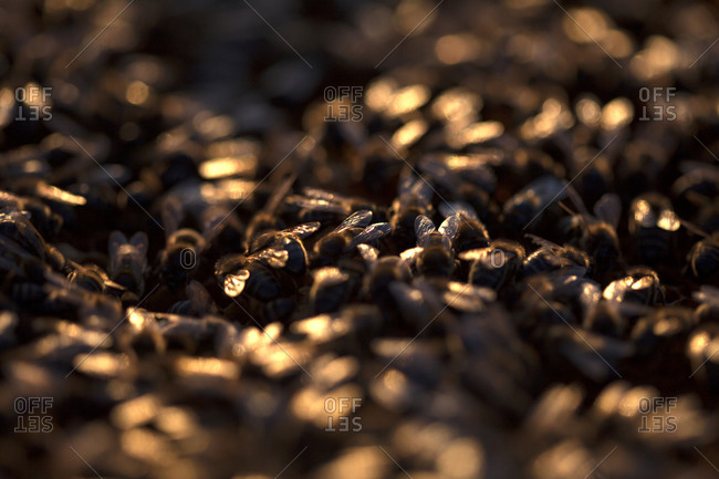 Honey bees work illuminated at sunset in a beehive of an apiary of Puremiel beekeepers in Arcos de la Frontera, Cadiz province, Andalusia, Spain