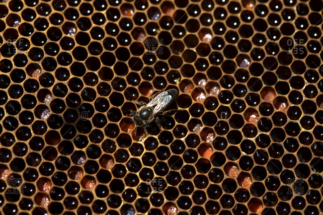 A queen bee walks in a beehive filled with honey and pollen in an apiary of Puremiel beekeepers in Los Alcornocales Natural Park, Cadiz province, Andalusia, Spain