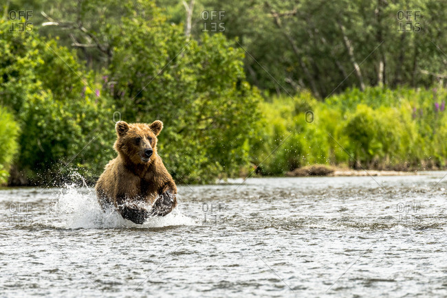 Young Grizzly chasing salmon in the river