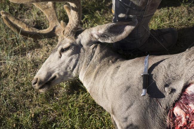 Freshly killed deer