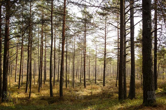 Sunshine in rural pine forest