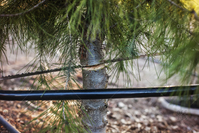 Close up of pine tree being sawed