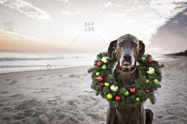 Dog wearing Christmas wreath on beach