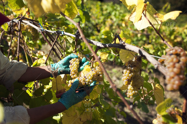 Gloved hands of a vineyard worker picking grapes