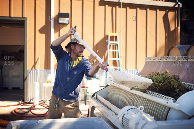 Man shoveling wine grapes into a crushing machine