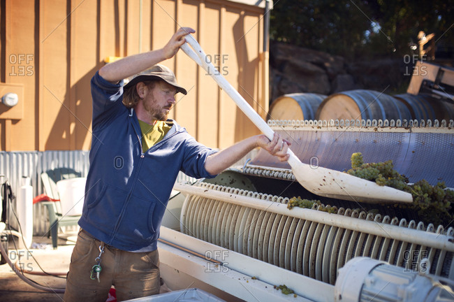 Winemaker loading grapes into a crushing machine
