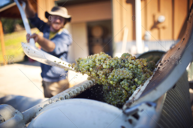 Man shoveling wine grapes into a crusher