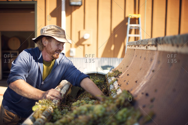 Winemaker putting grapes into a crusher