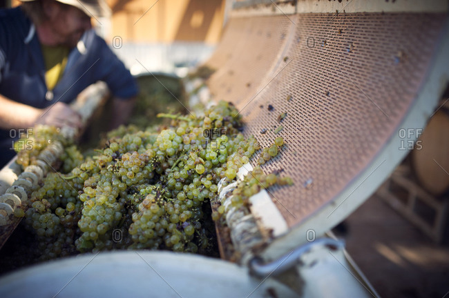Close up of wine grapes in a crusher