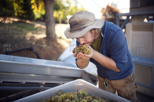 Farmer smelling his harvest of fresh wine grapes