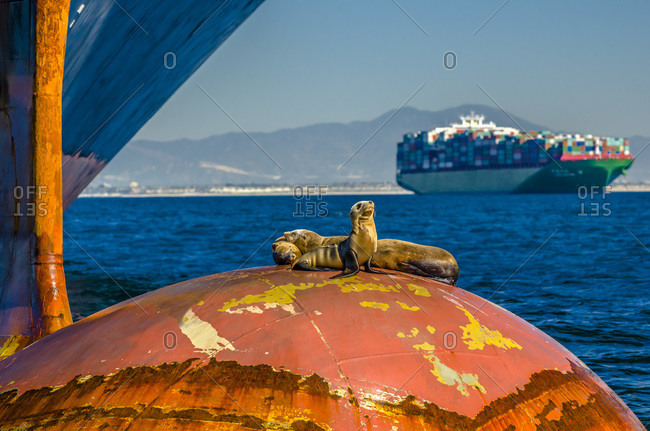 Seals resting on bulbous bow of container ship