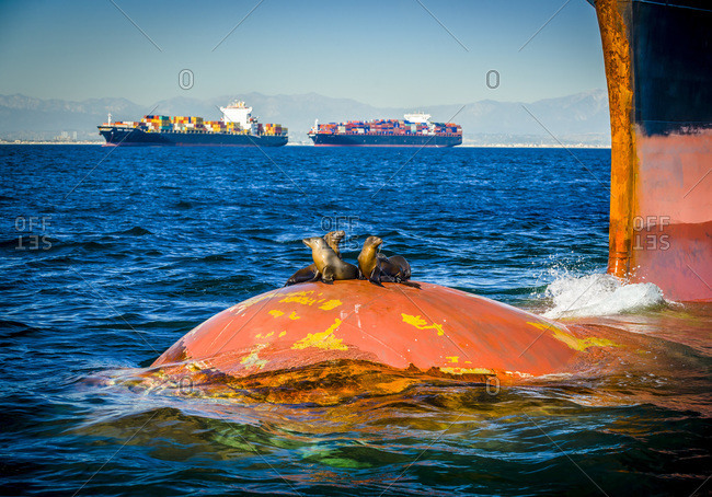 Seals resting on bulbous bow of container ship with two ships in distance
