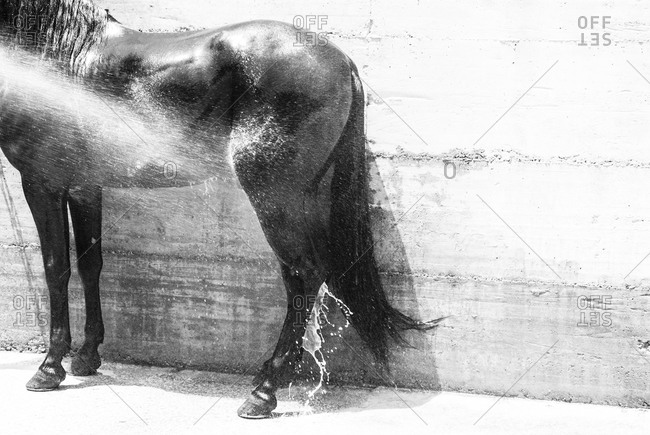 A black Spanish horse being washed down with a hose