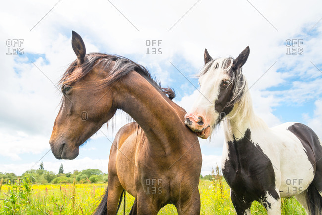Two horses bond with each other by scratching the other with its teeth